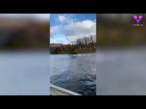 """Filman a un alce """"corriendo sobre el agua"""" cerca de una lancha"""