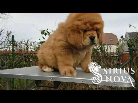 Tibetan Mastiff puppy Zeus