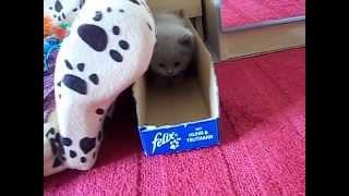 Nemotorná britská koťátka-stáří 32 dní.