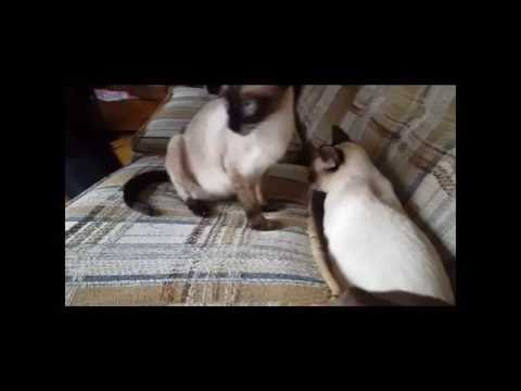 Siamese Cat vs  Couch Cushions - FUNNY!