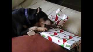 Min Pin Opens A Gift ''her Way''