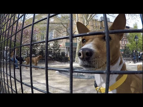 New York City Basenji Gathering - 21 April 2019 - Easter Morning Stalwarts