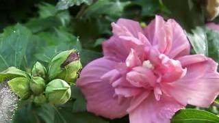 Video Rose of Sharon Shurbs -- Bees love them! download MP3, 3GP, MP4, WEBM, AVI, FLV Januari 2018