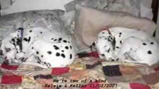 Dalmatian - Kelsie