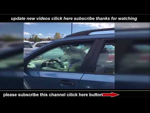 Hurry up husky The hilarious moment a dog honks the horn  when  he is left inside his owner's car