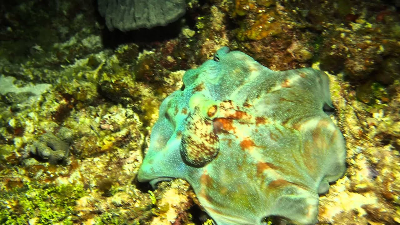 Caribbean Reef Octopus - YouTube