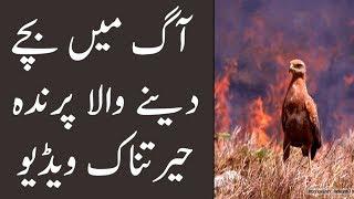 Fire Bird, Aesa Parinda Jo Aag Mai Bache Paida Karta Hai | The Urdu Teacher