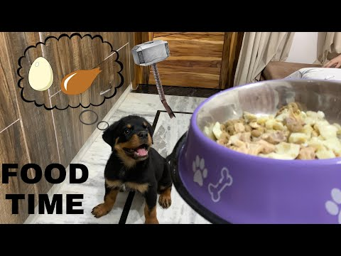FULL DAY DIET OF ROTTWEILER PUPPY | THOR THE ROTTWEILER | WHAT FOOD YOU SHOULD GIVE TO DOG| VLOG # 5