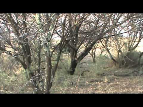 Cape Buffalo attacks Hunting guide, South Africa