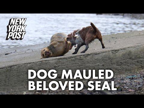 Beloved seal nicknamed Freddie Mercury dies after being mauled by dog | New York Post