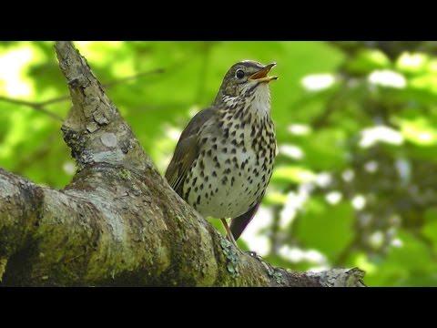 Song Thrush Bird Singing in May