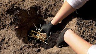 Ogród warzywny - sadzenie ziemniaków, wysiew buraków i zioła w donicy