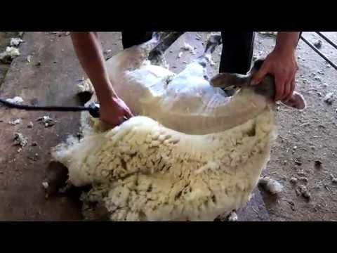 Sheep shearing - Bowen Technique