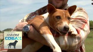 Басенджи. Планета собак 🌏 Моя Планета