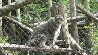 ネコ科大型獣の仲間ユキヒョウさんによる「にゃお」が少々野太い