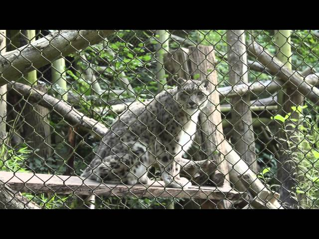 Funny Snow Leopard Meowing