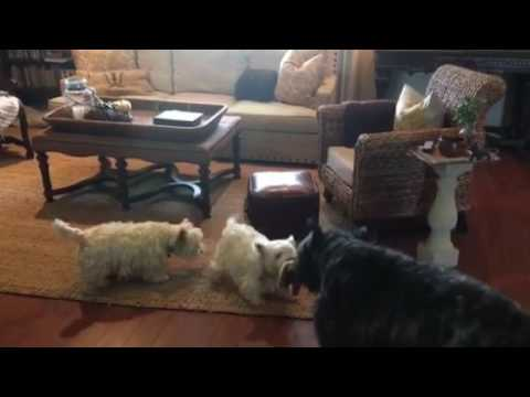 2 Westies and a Bouvier des Flandres