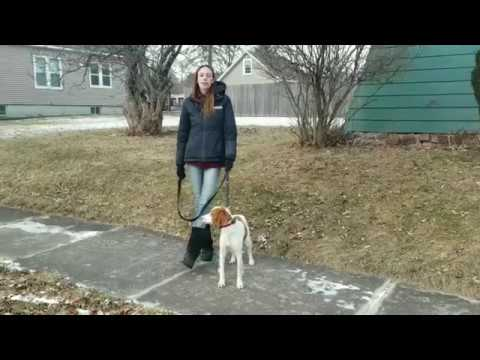 Albany Dog Trainers / Saratoga Dog Trainers / 2 Year Old Brittany Spaniel, Otis