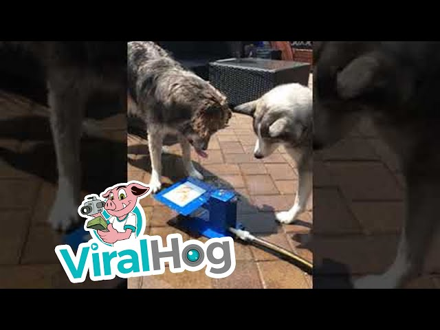 dogs-use-teamwork-for-drink-of-water-viralhog