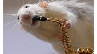 😅Сиамская крыса дамбо играет