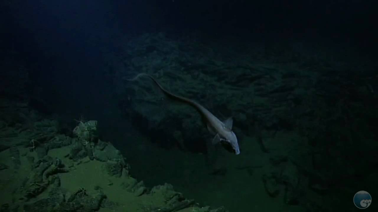 Rattail fish