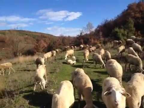 BOZ SHEPHERD DOGS AT WORK