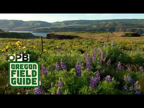 4 Great Spots For Wildflowers In The Columbia Gorge