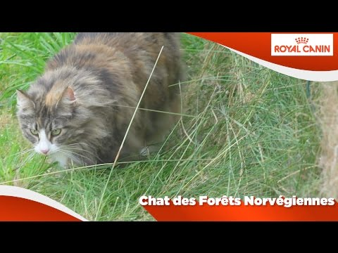 Chat Des Forêts Norvégiennes
