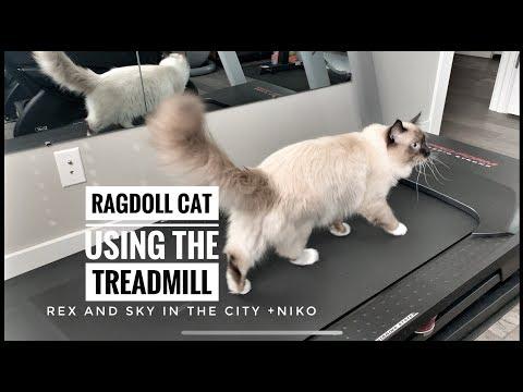 Ragdoll cat walks on treadmill! | Ragdoll kitten