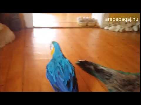 Papagáj a földön