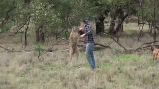 кенгуру напала на собаку