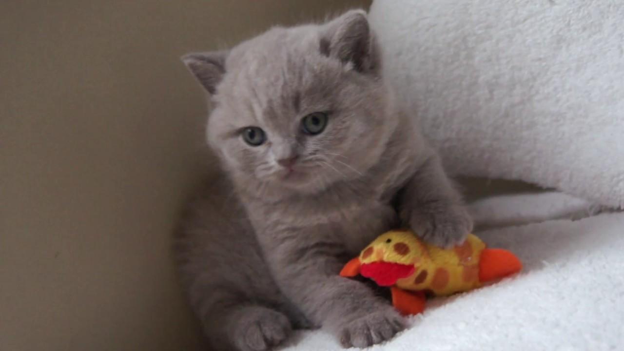 Kot Brytyjski Liliowy Harry British Shorthair Cattery Youtube
