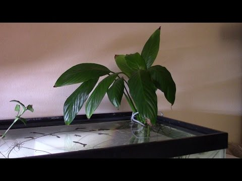Aquaponics Peace Lily In Aquarium