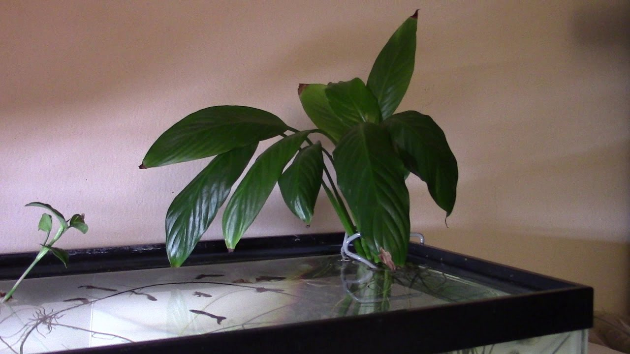 Aquaponics peace lily in aquarium youtube aquaponics peace lily in aquarium izmirmasajfo