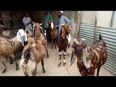 Jay Maa Bhawani Goat farm 09950270000And supplier kishangarh Ajmer Rajasthan 305801