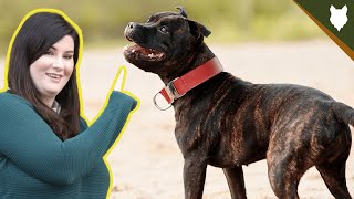 Everything You NEED TO KNOW About The STAFFORDSHIRE BULL TERRIER!
