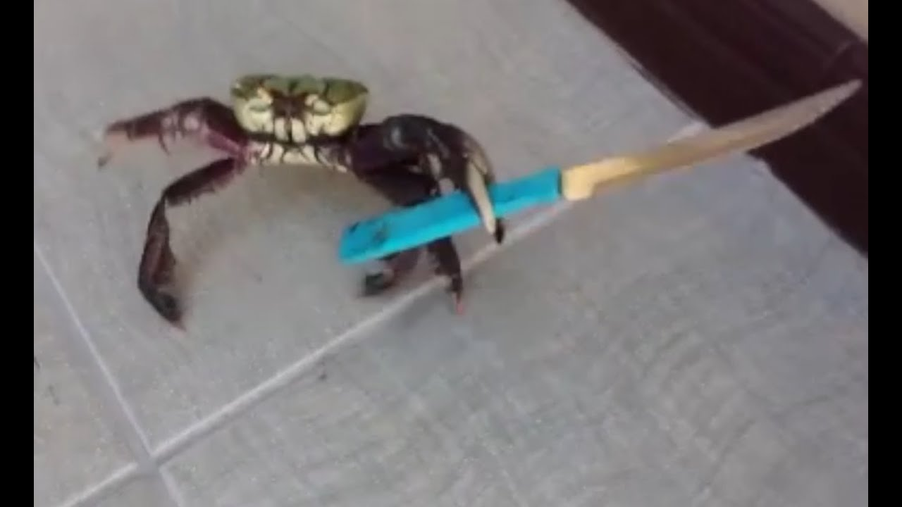 a dangerous criminal crab armed with a kitchen knife youtube