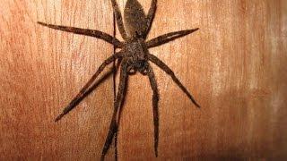 RIESEN SPINNE / GIANT SPIDER