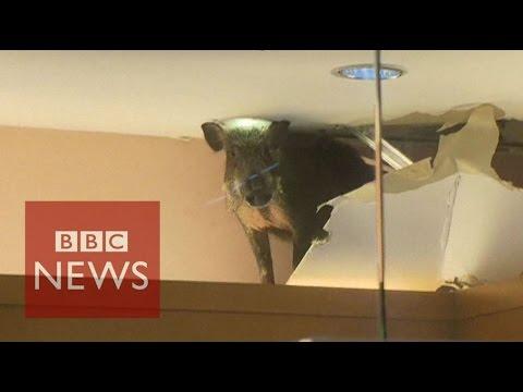 Hong Kong: Wild boar smashes through shop ceiling - BBC News