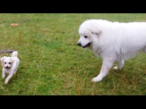 Little & large Pyrenean Mountain Dog Yogi & Bichon Peppa.