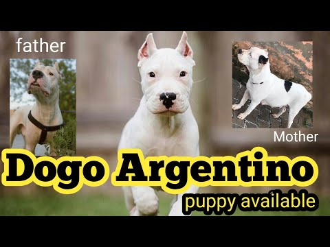 Dogo Argentino Puppy Nice Quality Available For Sale