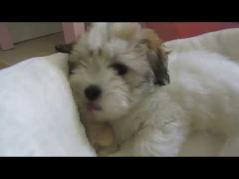 Coton de Tulear puppy Rosa - First week in her new home