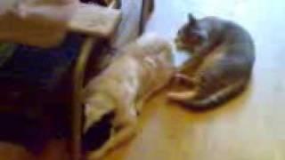 кот пристает к Линде(наши животные)