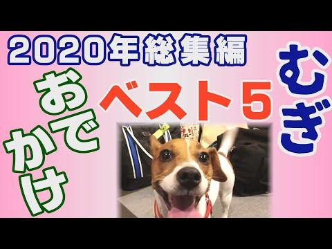 【わんこ】おでかけと旅行BEST5ジャックラッセルテリアのむぎ2020年【犬動画】