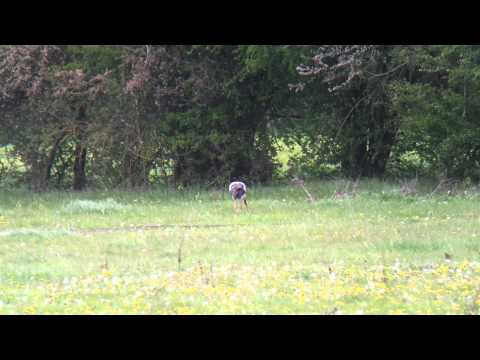 White Storks Standlake Common, Oxfordshire April 2012.