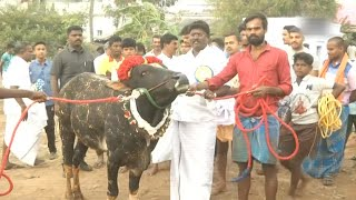bull-taming-festival-jallikattu-enters-day-2-in-tamil-nadu
