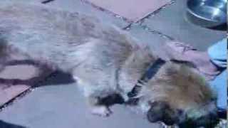 Diesel Border Terrier 9 Months Old