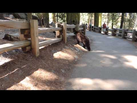Bear with cubs at General Sherman Tree in Sequoia National Park 6-3-2014