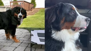 NICE MOMENTS OF BERNESE MOUNTAIN DOGS