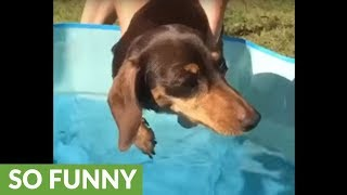 Mini Dachshund air-swims while hovering above pool